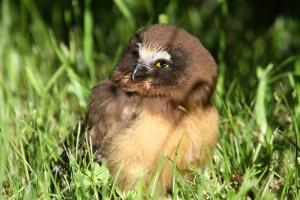 Baby Saw-whet Owl
