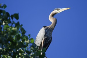 great blue heron by Barry Cocks